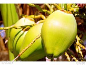 Noix de coco fraîches
